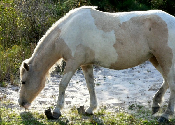 Long hooves on beige and white pony