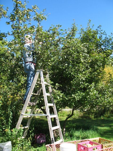Picking Frankie Doodle apples.