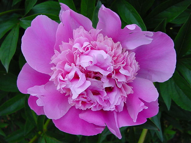Pink Peony in Full Bloom